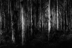 16-KaurieForest_M_AlanPurnell_14-pts