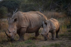 22-RhinoMotherandCalf_C_DenisePetrie_15_JC
