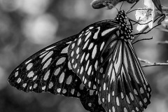 07-ButterflyOnTeaTree_M_ErithFrench_11-pts