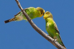 32-WildBudgies_C_AnnetteSpooner_13-pts