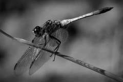 07-DragonFly_M_AnnetteSpooner_11-pts