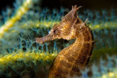 24-Seahorse_C_PMcGee_13-pts
